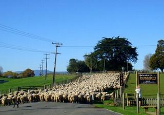 Akl_sheeps