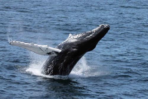 Whale_hirabayashi_2