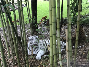 Drwam_world_white_tiger2