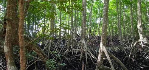 Gaya_island_mangrove