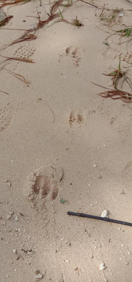 Wildboar_footprint