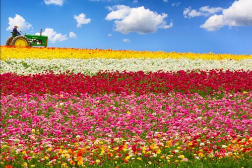 Capture Wallpaper Bunga Mawar Dan Tulip