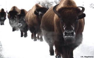 Bison_in_winter_credit_k_nagahama