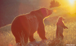 Grizzly_bear_mother_cub_sun_credit_