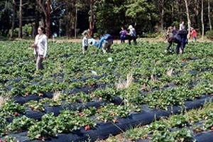 Picking_strawberries_xsw