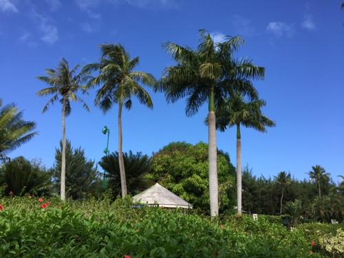 Hyt_grdn_coconut_tree