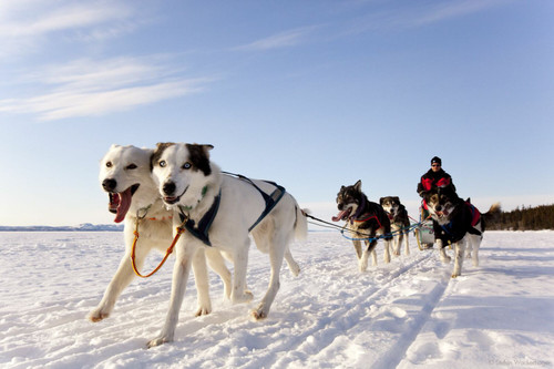 Dogsledding_8