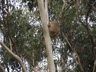 Koala4